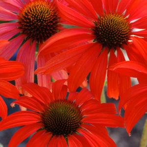 Эхинацея пурпурная (Echinacea purpurea) «Tomato Soup»