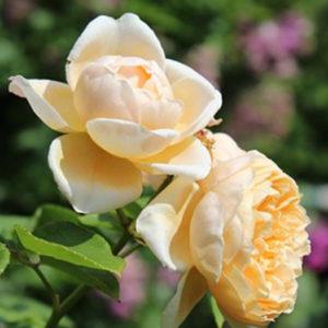 Роза (Rosa) «Charlotte»