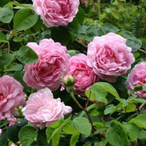Роза (Rosa) «Constance Spry»