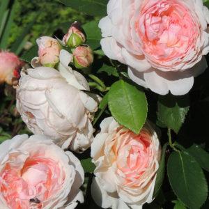 Роза (Rosa) «Eglantyne»