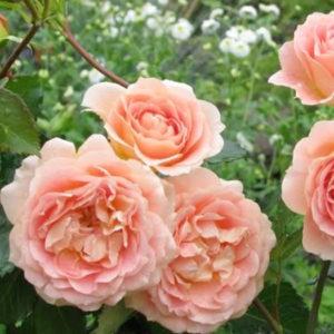 Роза (Rosa) «Evelyn»