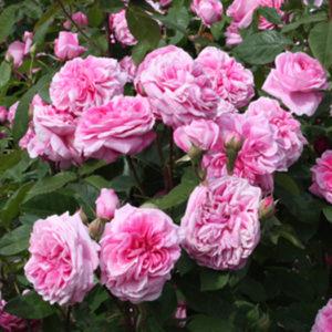 Роза (Rosa) «Gertrude Jekyll»