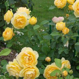 Роза (Rosa) «Graham Thomas»