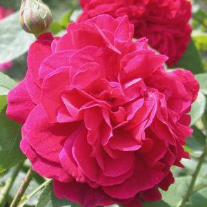 Роза (Rosa) «LD Braithwaite»
