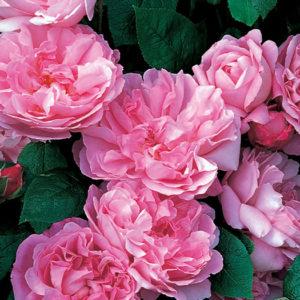 Роза (Rosa) «Mary Rose»
