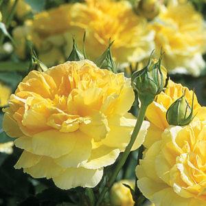 Роза (Rosa) «Molineux»