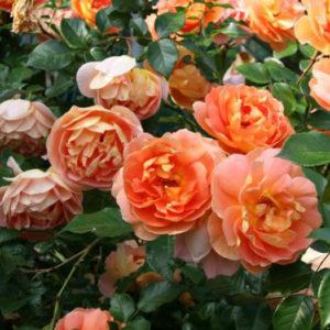 Роза (Rosa) «Pat Austin»