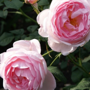 Роза (Rosa) «Scepter`d Isle»