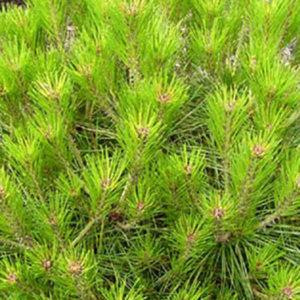Сосна густоцветковая (Pinus densiflora) «Alice Verkade»