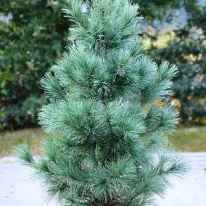 Сосна Веймутова (Pinus monticola) «Ammerland»