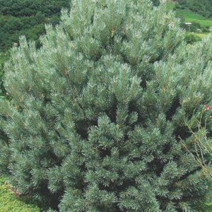 Сосна обыкновенная (Pinus sylvestris) «Watereri»