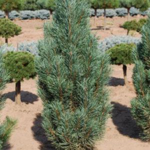 """Сосна обыкновенная (Pinus sylvestris) """"Fastigiata"""""""