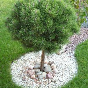 Сосна обыкновенная (Pinus sylvestris) форма-шар