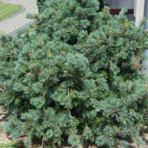 Сосна малоцветковая (Pinus parviflora) «Negishi»