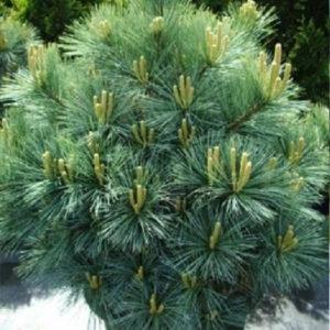 Сосна Веймутова (Pinus strobus) «Macopin»