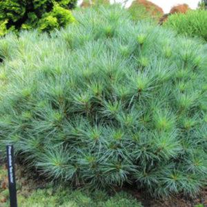 Сосна Веймутова (Pinus strobus) «Minima»