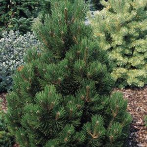 Сосна Гельдрейха (Pinus heldreichii) «Malinki»