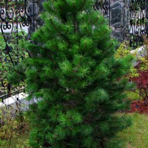 Сосна Гельдрейха (Pinus heldreichii) «Den Ouden»
