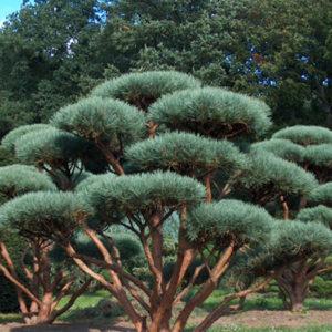 Сосна обыкновенная (Pinus sylvestris) «Watereri» Bonsai-form