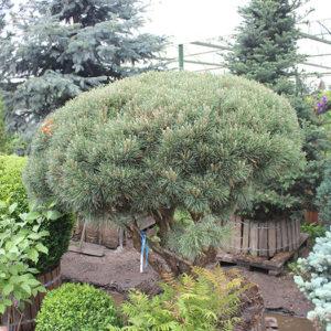 Сосна обыкновенная (Pinus sylvestris) форма-зонт