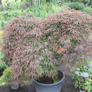Клён веерный (Acer palmatum) «Dissectum Atropurpureum»