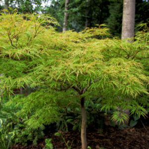 "Клен веерный (Acer palmatum) ""Dissectum"""