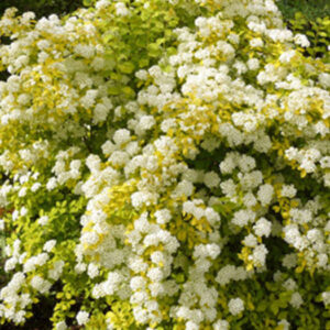 "Спирея Вангутта (Spiraea vanhouttei) ""Gold Fountain"""
