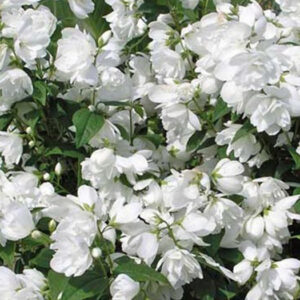 "Чубушник венечный (Philadelphus) ""Snowgoose"""