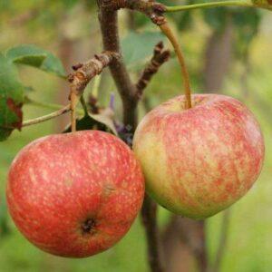 Яблоня домашняя 'Красавица Сада'