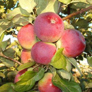 Яблоня домашняя 'Орлик'