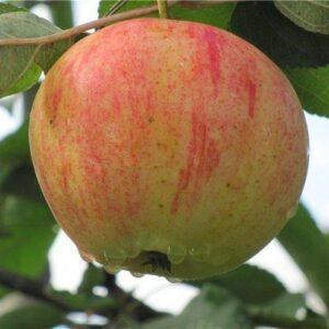 Яблоня домашняя 'Орлинка'